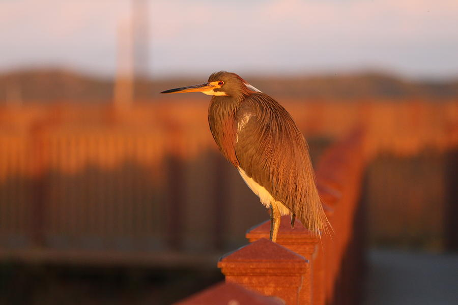 Red Heron  by Christy Pooschke