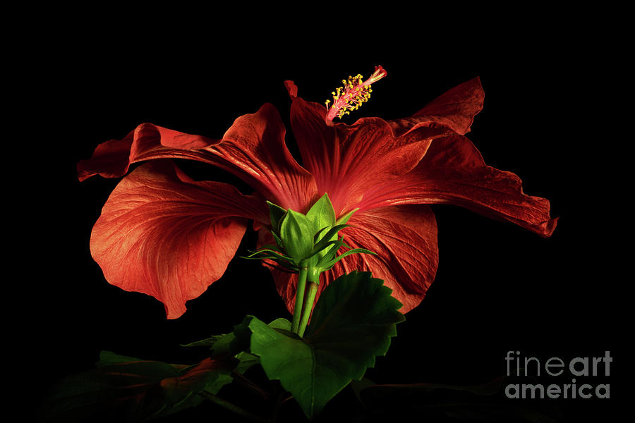 Red Hibiscus 3 by Ann Garrett