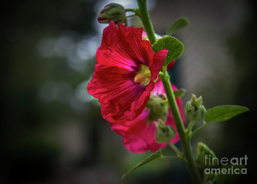 Red Hollyhock by Jaime Miller