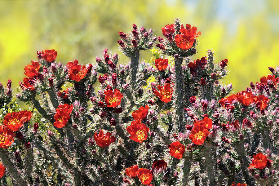 Red Hot Cholla  by Saija Lehtonen