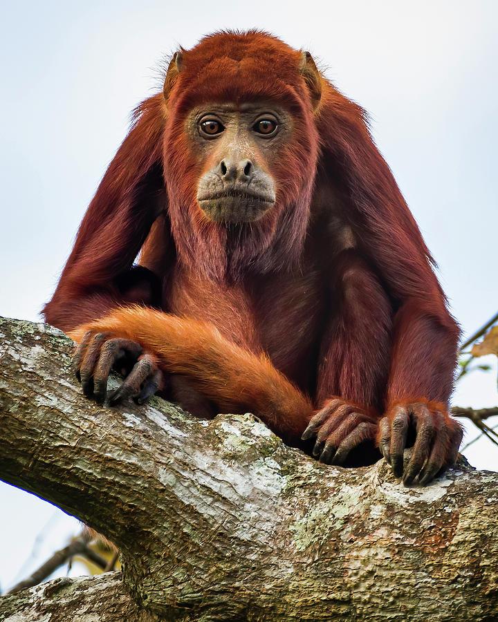 Red Howler Monkey La Palmita Casanare Colombia by Adam Rainoff