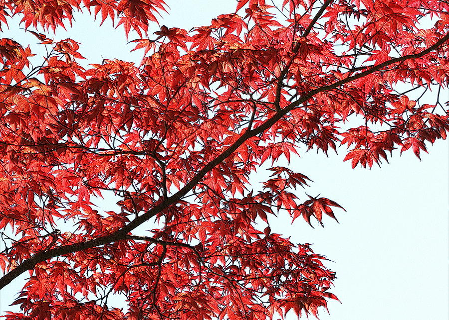 Red Japanese Maple Leaves by Debi Dalio