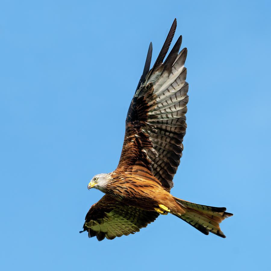 Red Kite soaring by Steev Stamford