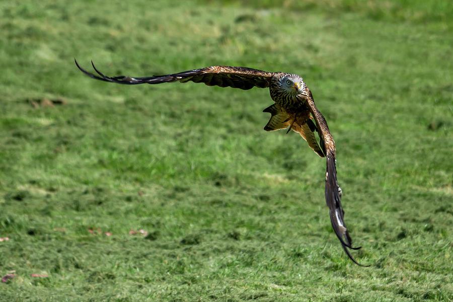 Red Kite swoop by Steev Stamford