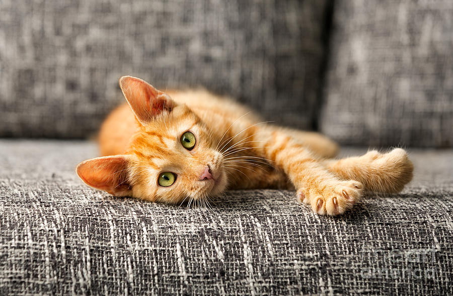 Play Photograph - Red Kitten Lying On Bed And Looking At by Lucky Business