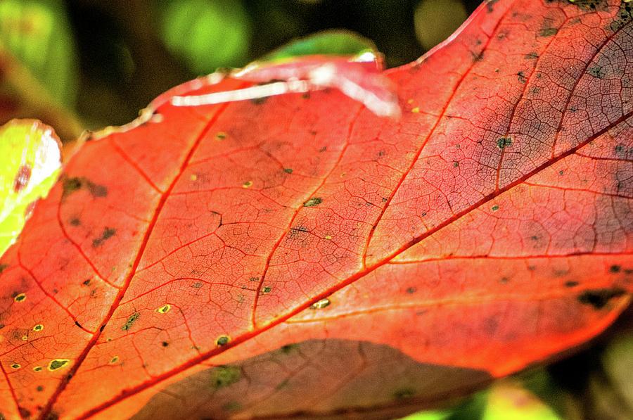 Red Leaf by James L Bartlett