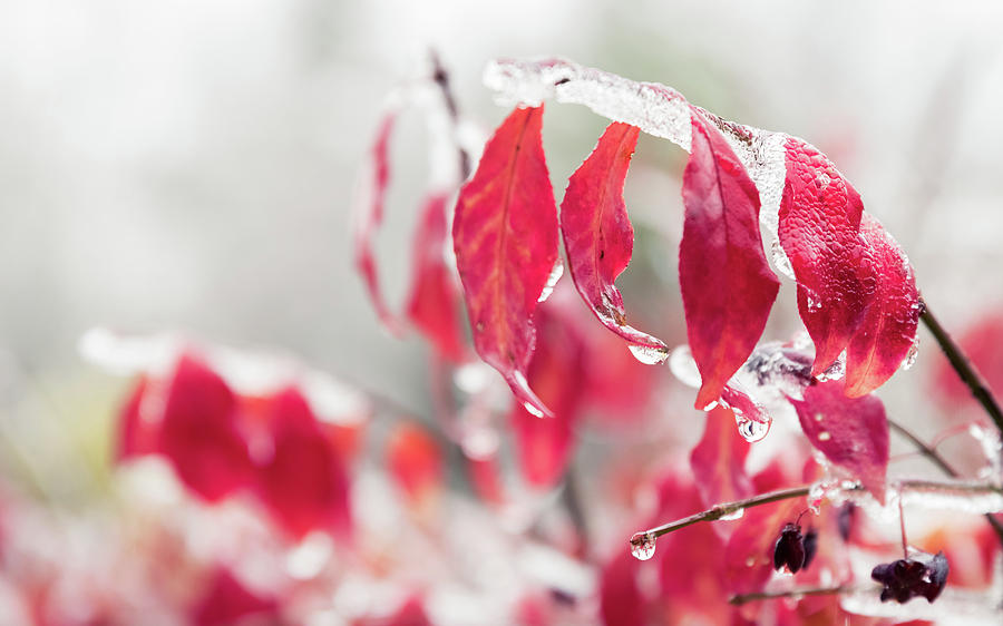 Red Leaves And Branches Are Frozen Into Beautiful Iciles. Photograph