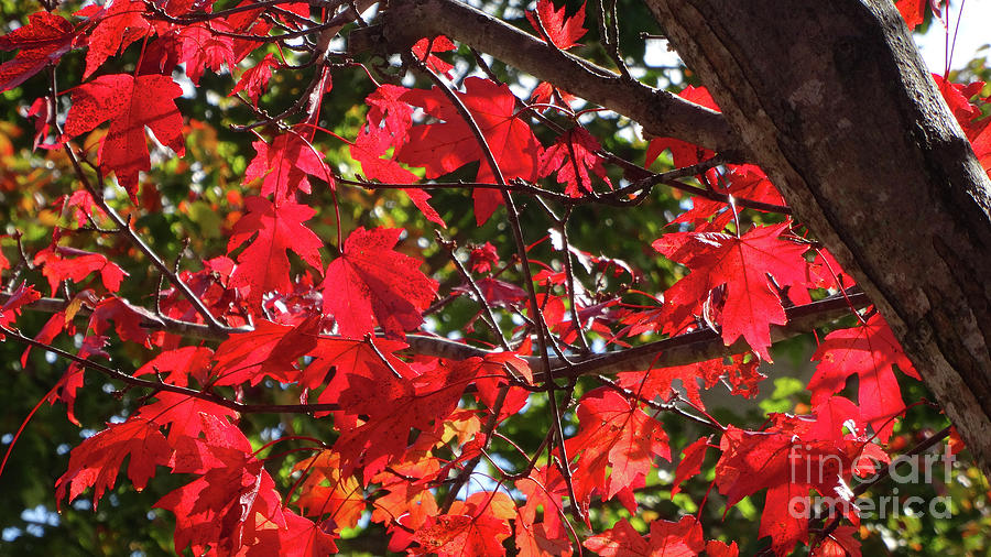 Red Leaves by Eunice Warfel