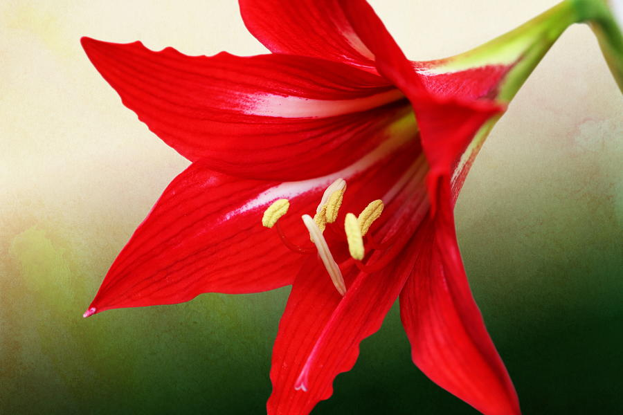 Red Lily Flower by Debi Dalio