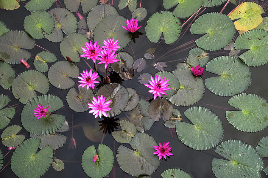 Red Lily Pond Photograph