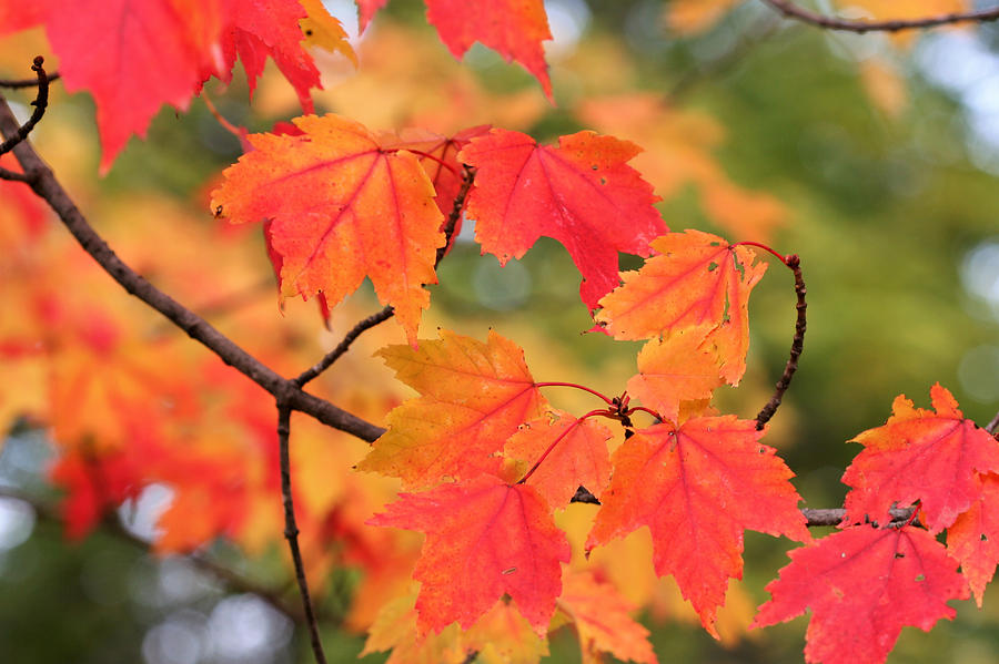 Red Maple 7109 by AJP