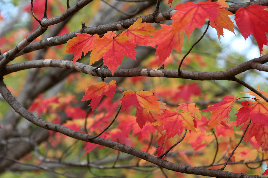 Red Maple 7114 by AJP