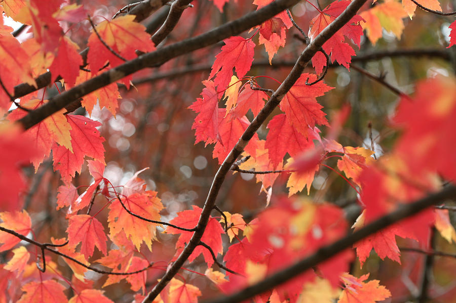 Red Maple 7139 by AJP