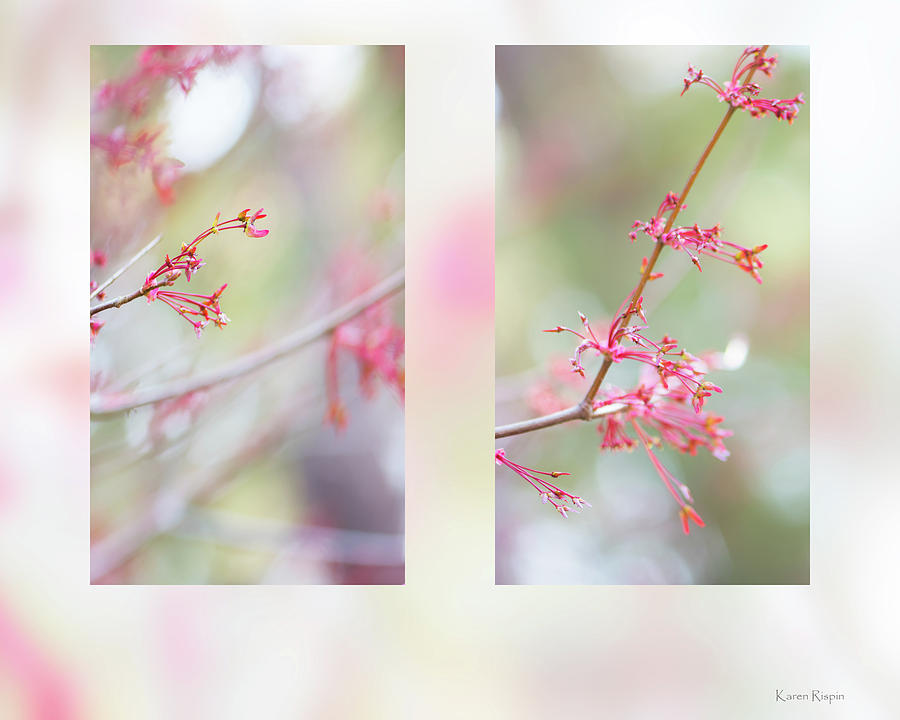 Red Maple by Karen Rispin