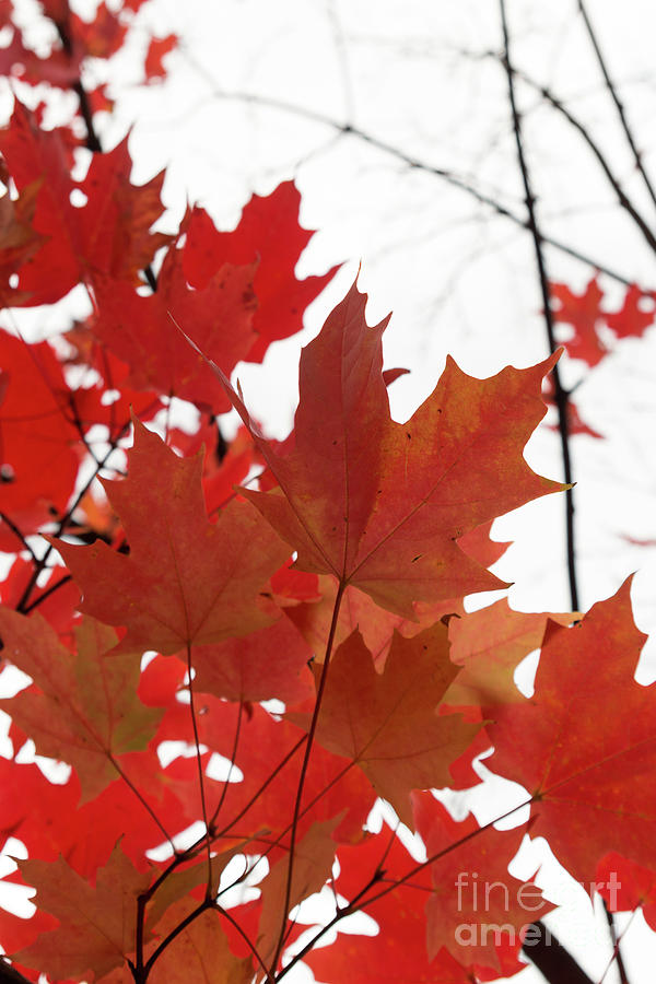 Red Maple Leaves 2 by Ana V Ramirez