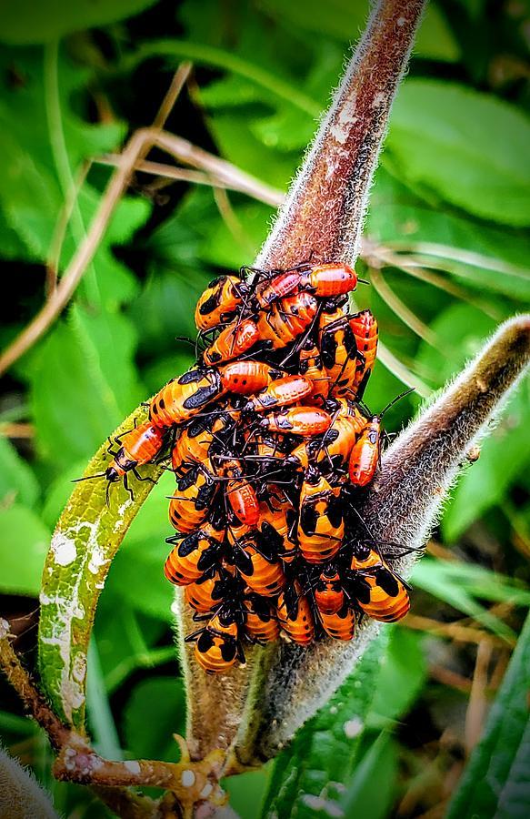 Red Milkweed Beetle  by Ricky L Jones
