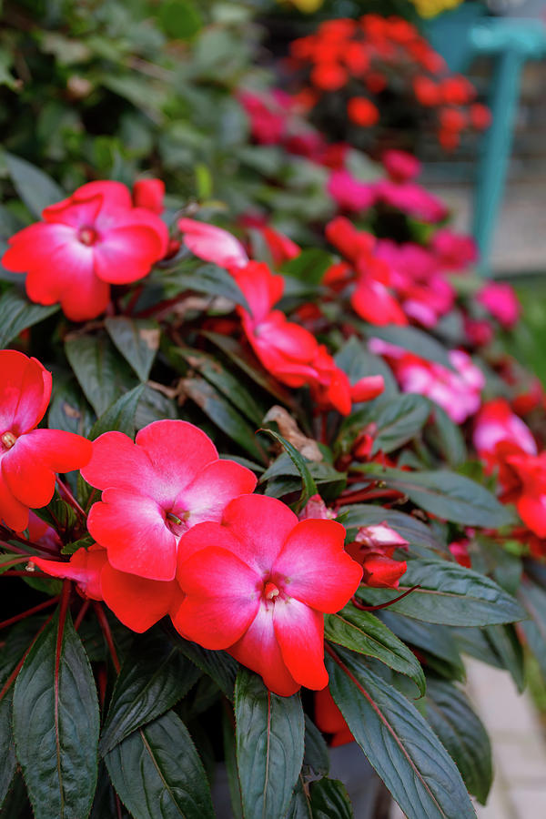 Red New Guinea Impatiens Flower In Pots Photograph By Artush Foto