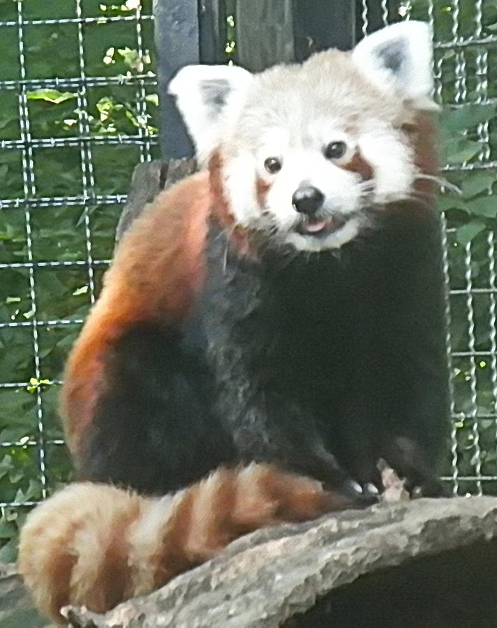 Red Panda by Barbara Keith