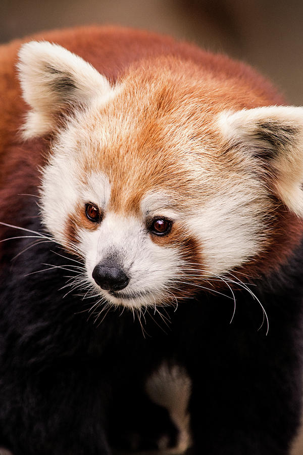 Red Panda-DC by Don Johnson