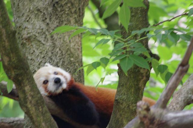 Red Panda  by John Carroll