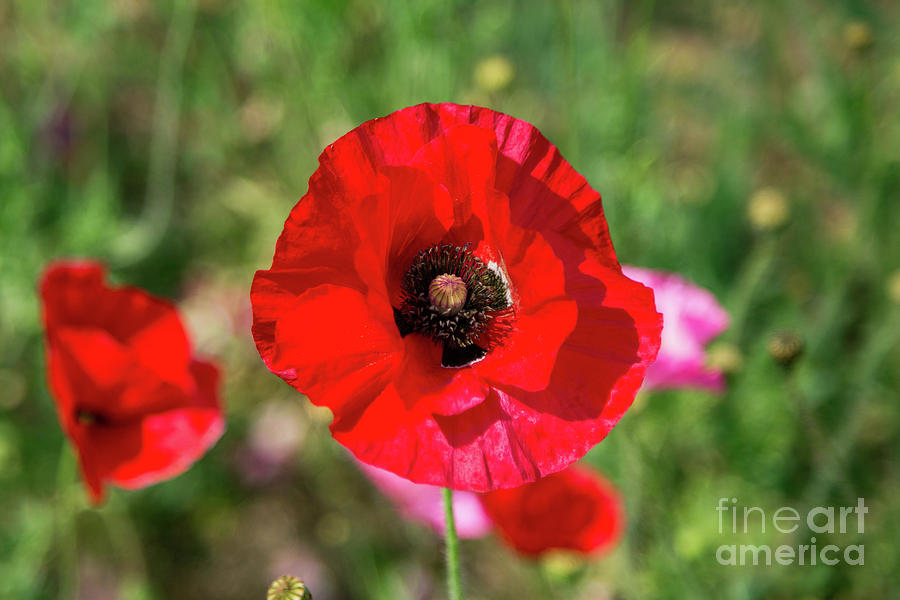 Red Passion Poppy by Lisa Lemmons-Powers