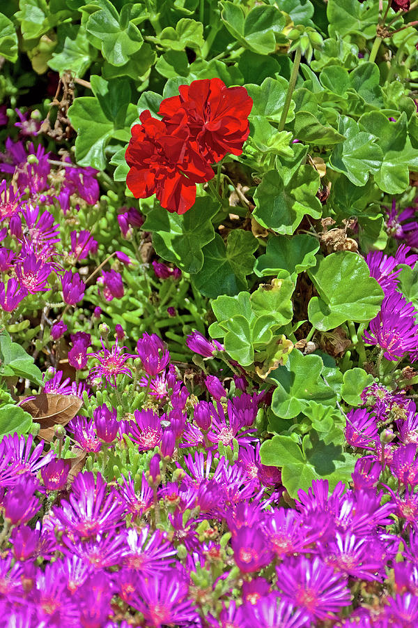 Red Pelargonium and Bright Pink Ice Plant at Saint Lukes Lutheran Church in Claremont, California  by Ruth Hager