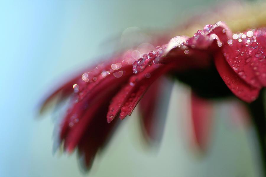 Red Petals Photograph by Adriana Casellato