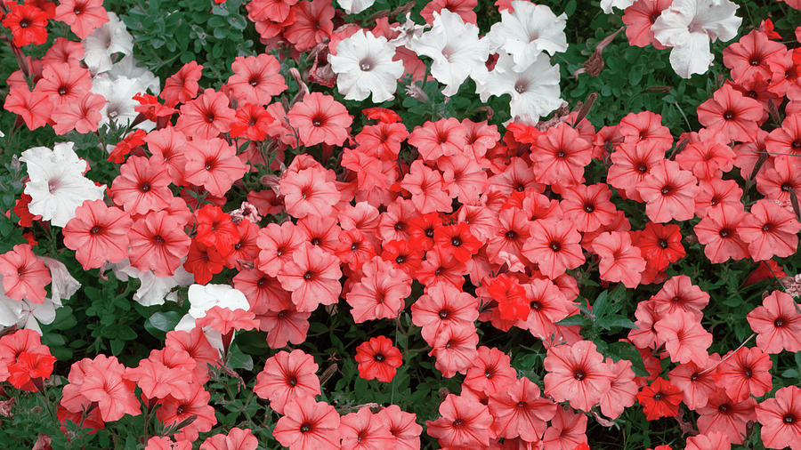 Red Petunias in Bunches by Jason Fink