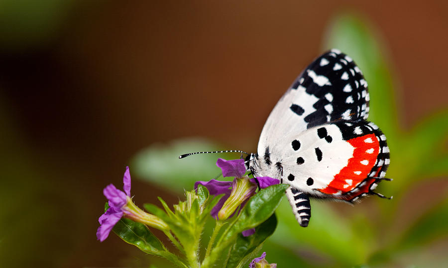 Red Pierrot Photograph by Amit R