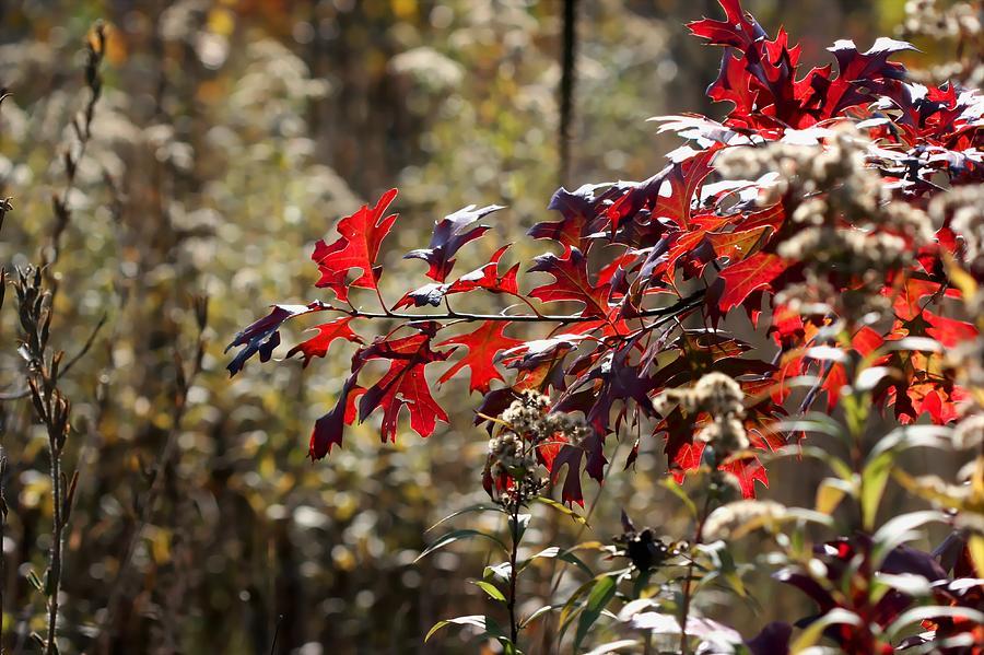 Red Pin Oak Leaves by AJP