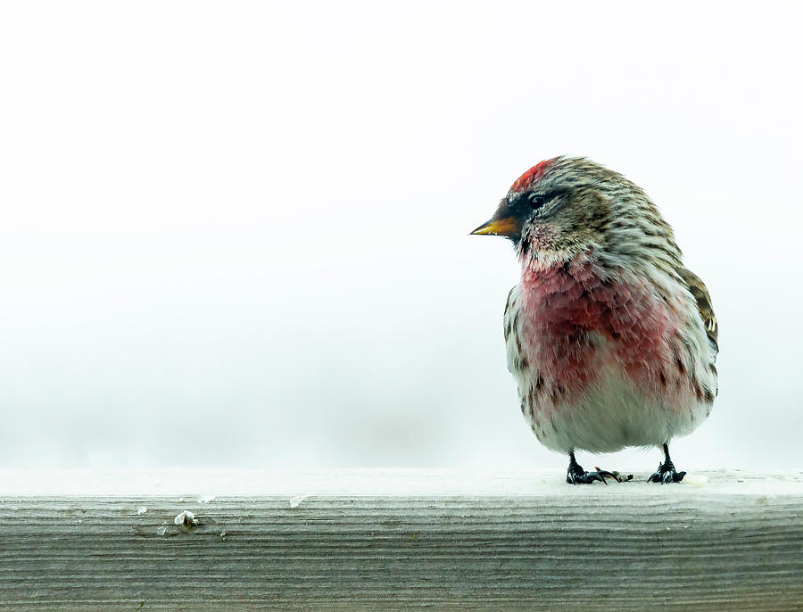 RED POLL by Philip Rispin