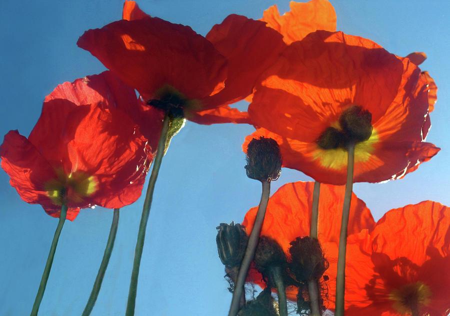 Red Poppies and Sky by Jaeda DeWalt