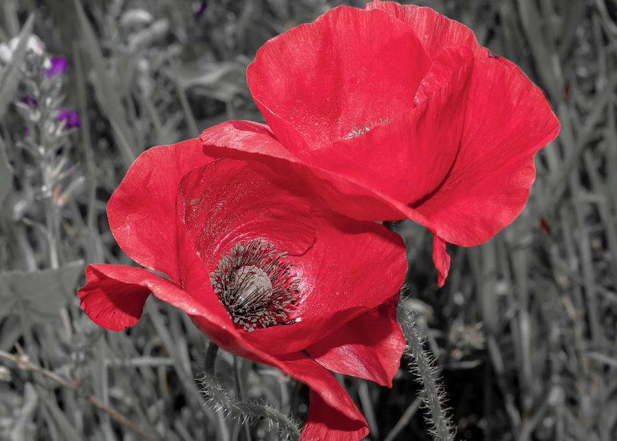 Isolated Red Poppy Flowers  by Terry Walsh