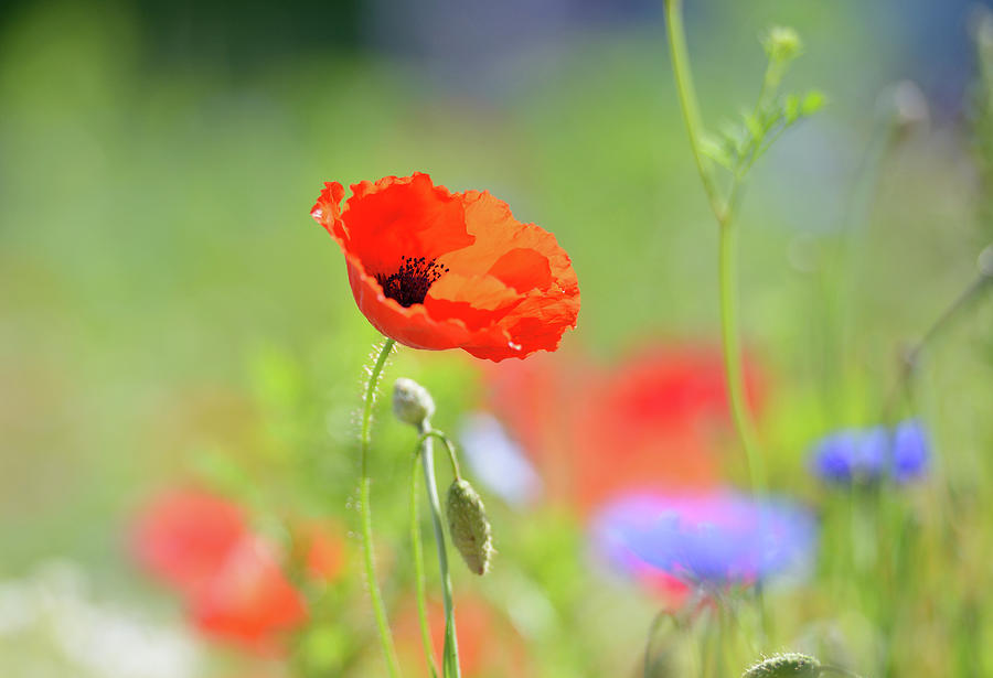 Red Poppy And Flowers Photograph by Martial Colomb