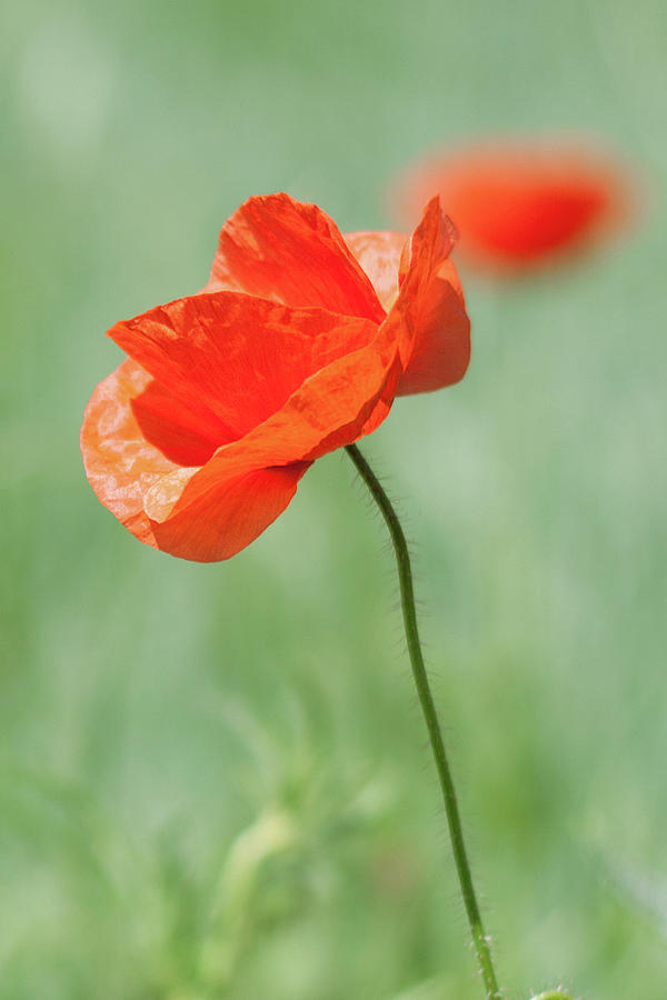 Red Poppy Photograph by By Felix Schmidt