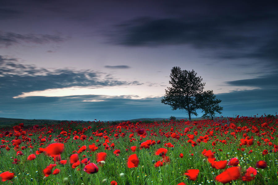 Red Poppy Field Photograph by Evgeni Dinev Photography