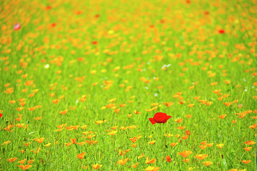 Red Poppy Flower In Field Of Yellow Photograph by Daisuke Morita
