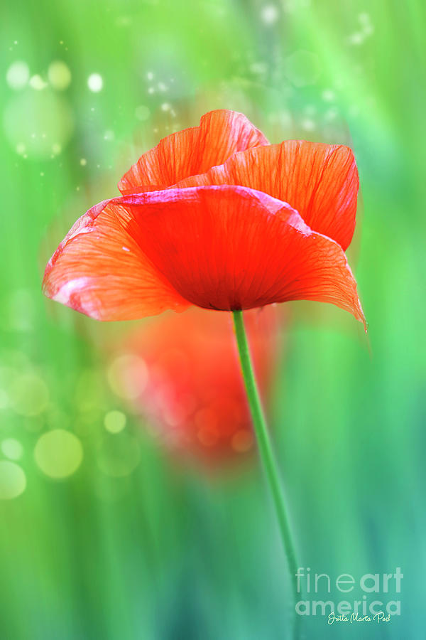 Red Poppy by Jutta Maria Pusl