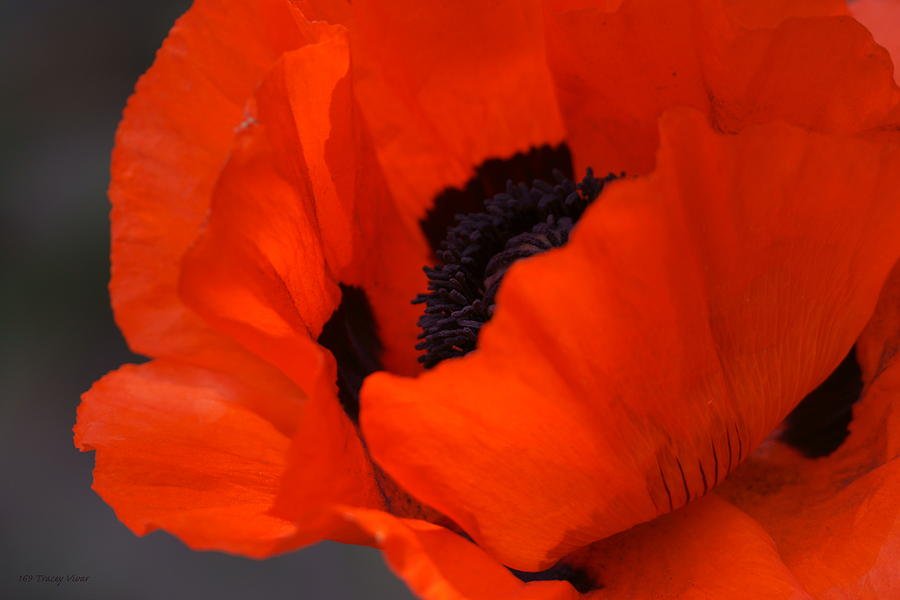 Red Poppy by Tracey Vivar