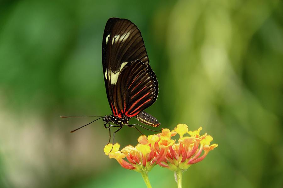 Red Postman Butterfly by Jennifer Wick