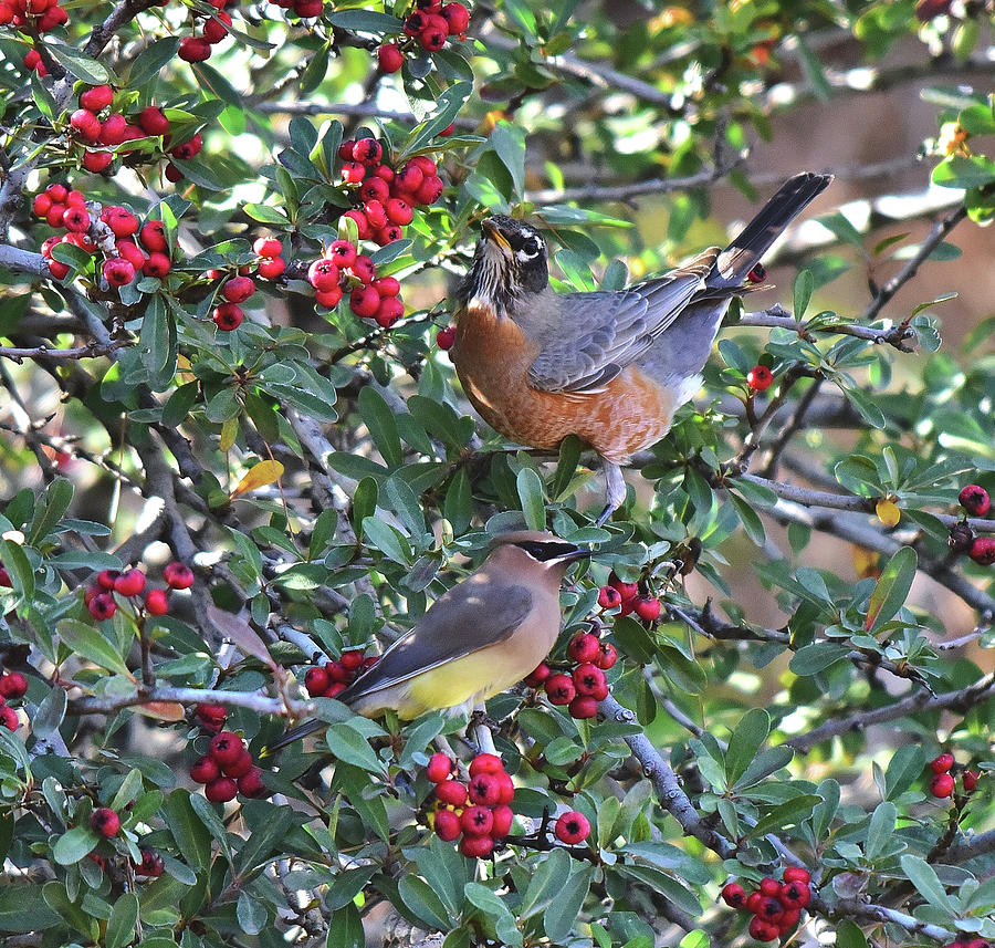 Red Robin And Cedar Waxwing 4 Photograph