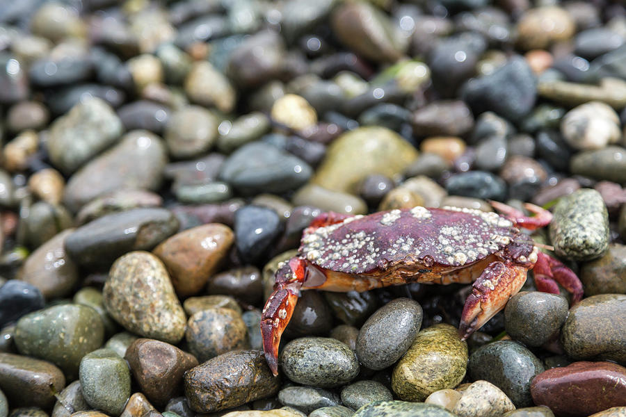 Red Rock Crab On A Pebble Covered Beach Photograph by Stevedf