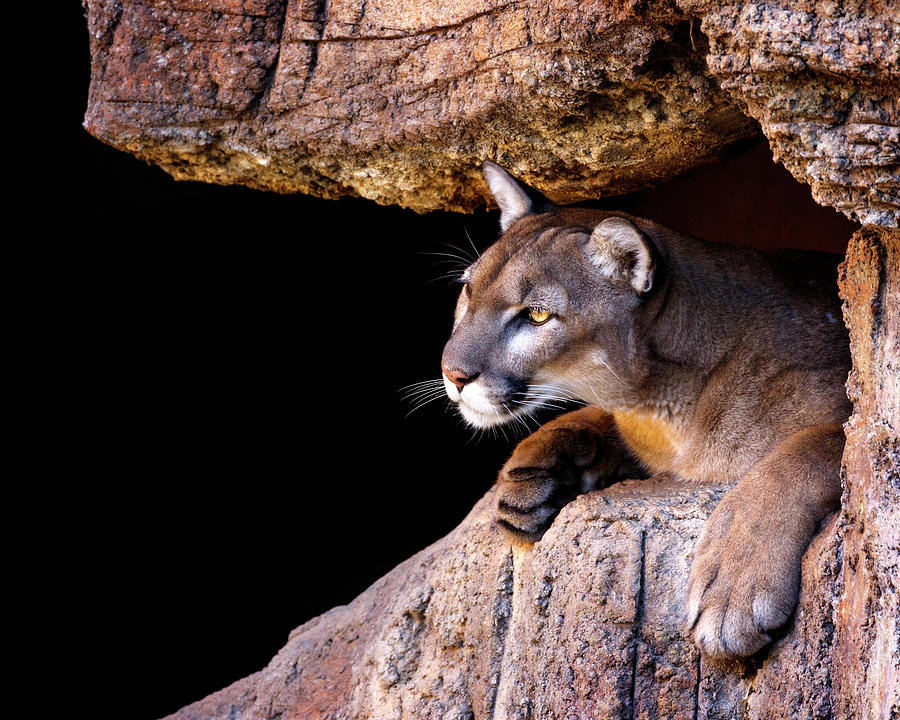 Red Rock Puma by Wes and Dotty Weber