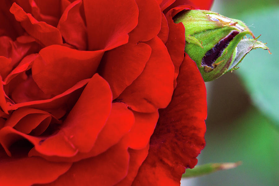 Red Rose and Bud Closeup by Jason Fink