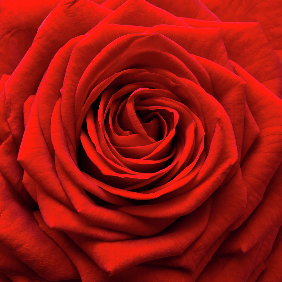 Red Rose Photograph by Anthony Dawson