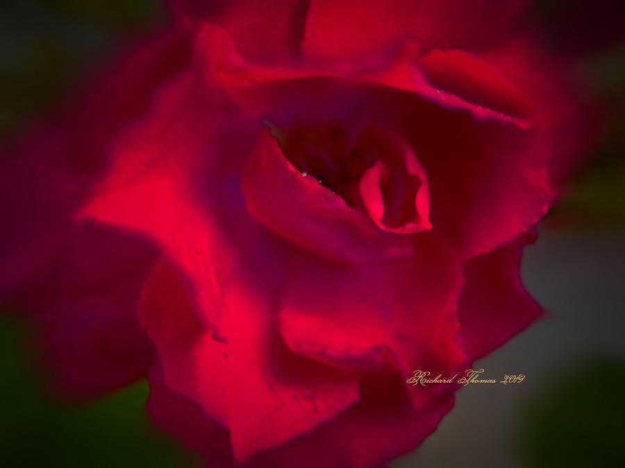 Red Rose Macro by Richard Thomas