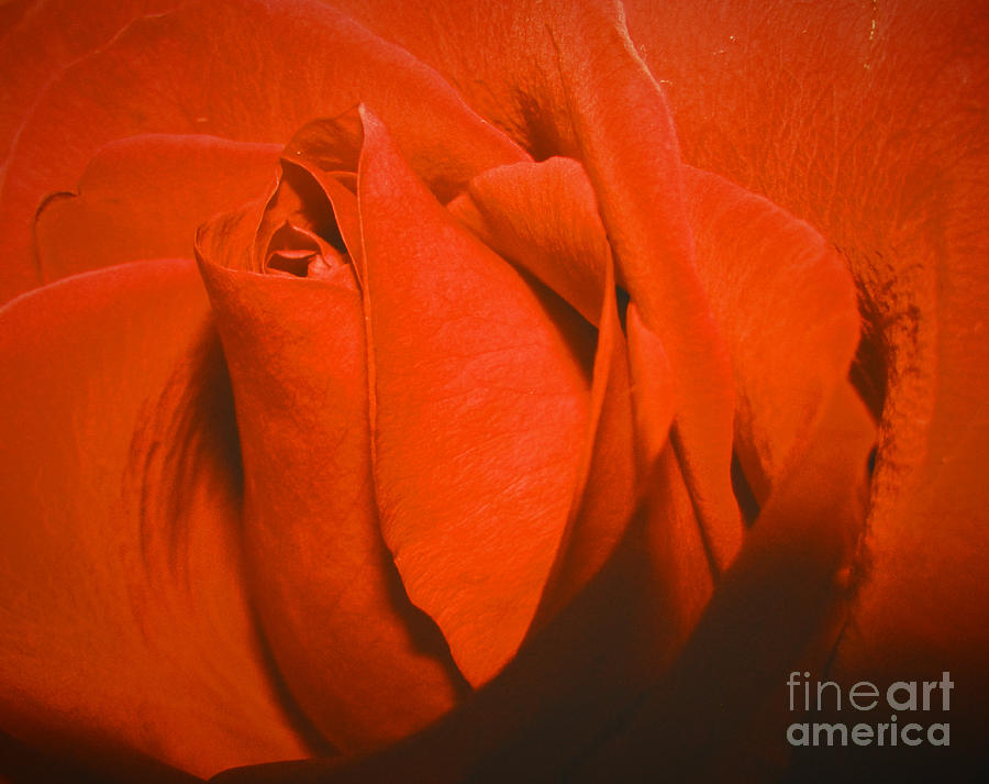 Rose Photograph - Red Rose Special by Robert Knight