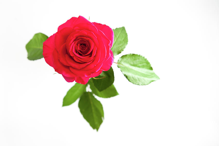 Red Rose White Background Photograph By Helen Northcott