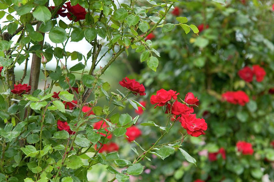 Red Roses Koln am Rhein by Jenny Rainbow