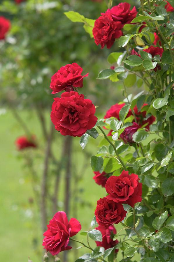 Red Roses Ludvig Vecera by Jenny Rainbow